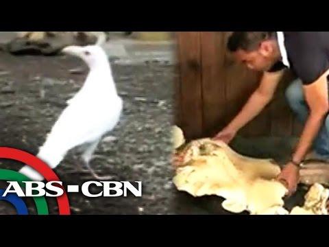 Rare white crow in Lanao