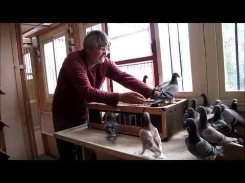 racing pigeon, Jungtauben, jonge duiven, youngsters, young pigeons