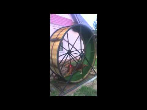 Dog Sized Hamster Wheel Dog-sized Hamster Wheel
