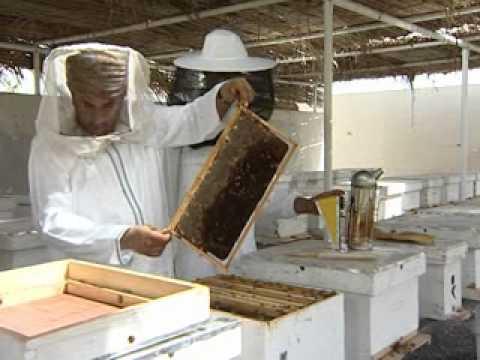 تربية ملكات نحل العسل بطريقة التطعيم  في عُمان 1