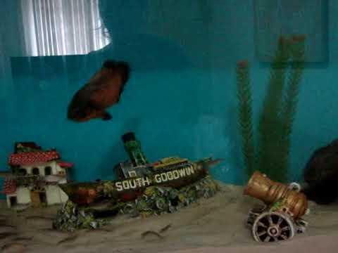 Alimentando aquario de carnivoros com lambaris