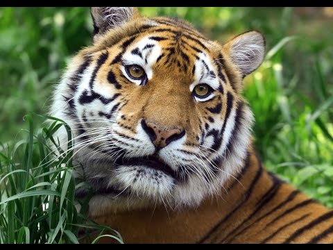 FINALLY A Win For Conservation Efforts To Save The Wild Tiger