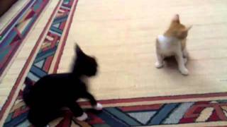 awesome cat fight.mp4