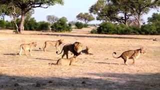 VIRAL: El mundo pide justicia para Cecil el león
