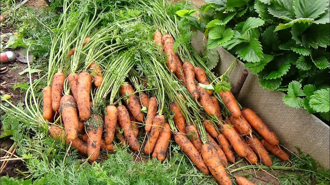 Выращивание моркови на продажу 3