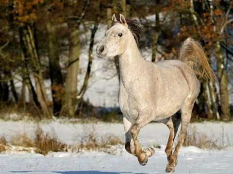Nic- 2 Weisse Pferde