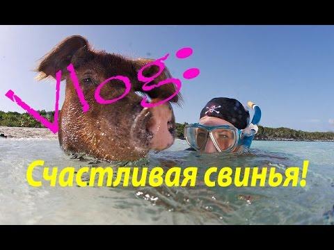 Свинское счастье...Багамские острова. Happy pig. HD