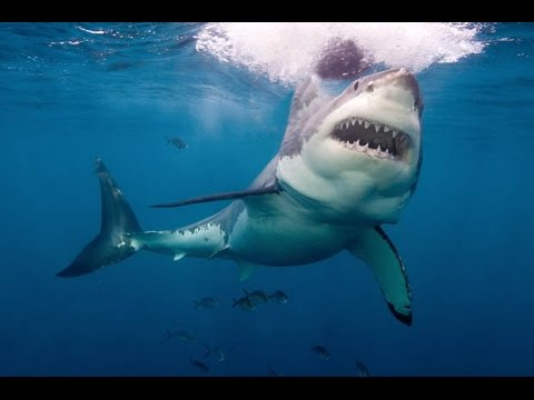 Great White Sharks Chomp On An Underwater Robot