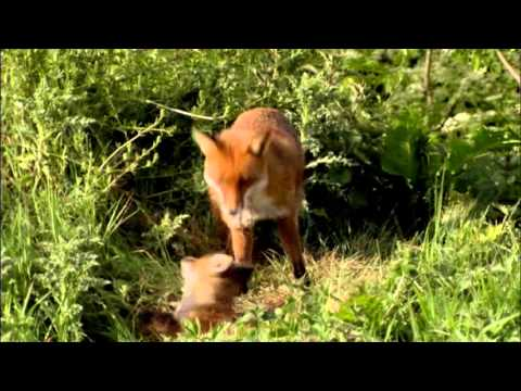 Living the Wildlife: Foxes | RT Goes Wild