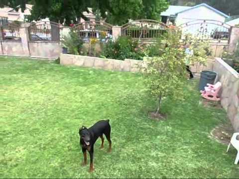 Golden Retriever Australian Shepherd Mix Puppies