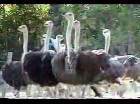 avestruces en colombia, www.colombianostrich.com