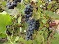 Jak zrobić wino z winogron - krok po kr...