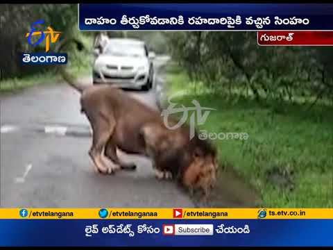 Thirsty Lion Enters On Road | to Drink Water in Gujarat | Video Goes Viral