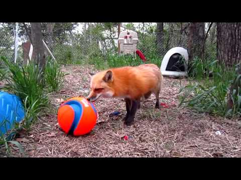 Foxy Five Years Old video