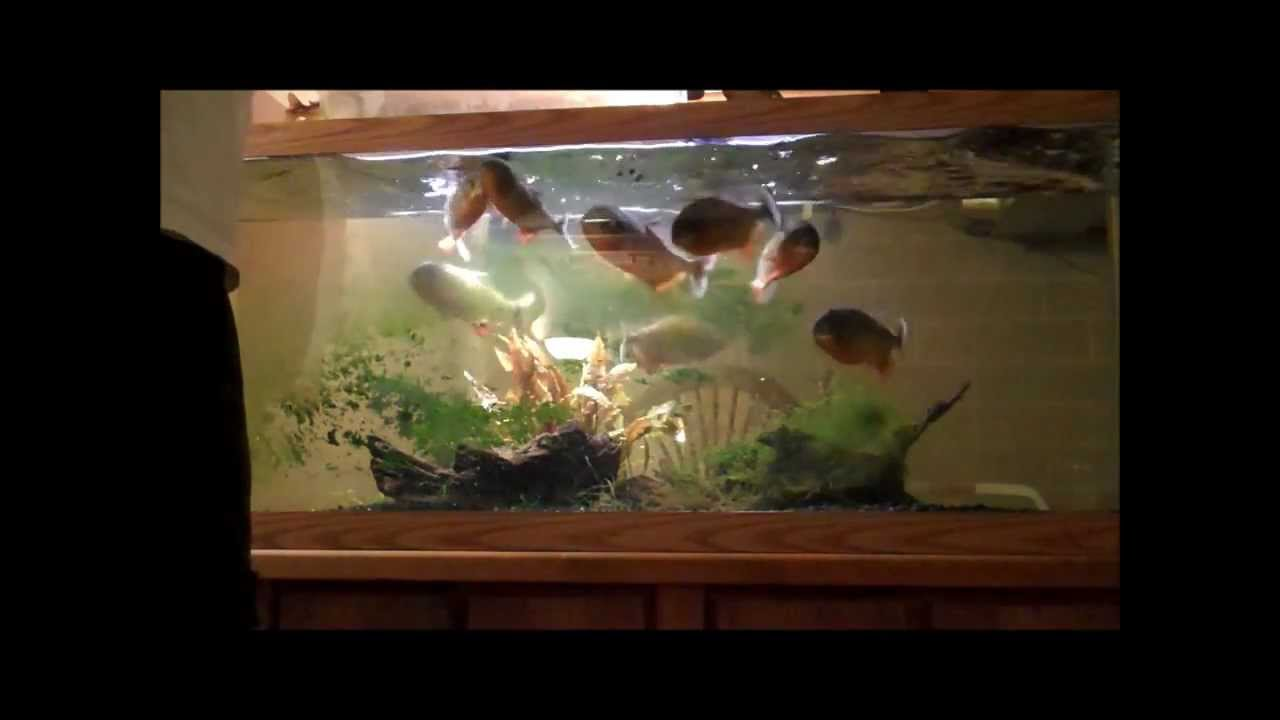 Red Belly Piranha Fish Tank Red Belly Piranha 4 1 2 Years
