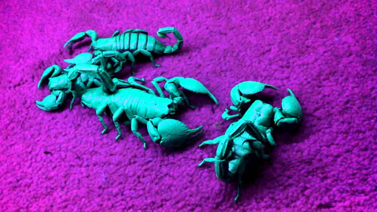 Emperor Scorpions Under A Black Light Youtube