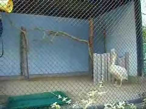 モモイロペリカンのペリーさん@大牟田市動物園・その2