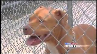 Pit Bull attacks reporter & her Collie - _This is the Pit Bulls 2nd attack