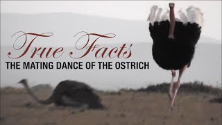True Facts: Mating Dance of the Ostrich