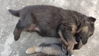 Funniest German Shepherd Puppies Videos