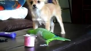 La batalla entre el perrito y el loro por ver quién se come el yogurt
