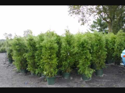 We grow Fast growing Trees 215 651 8329