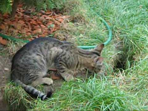 Kitty Tigress plays with her newly captured mouse