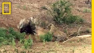 Leopard vs. Porcupine: A Prickly Standoff   National Geographic
