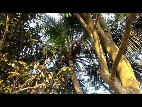How a boy name Ratan step up in the coconut tree 20160415 161910