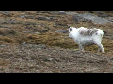 Arctic Fox, Reindeer, Polar Bears of Svalbard, Norway