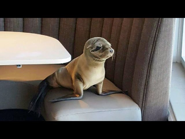 Table for One? Hungry sea lion pup wanders into San Diego restaurant