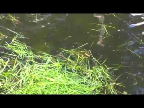 амура ловят на траву