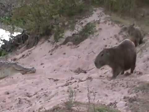 Orinoco Cocodile and Capybara: Los Llanos Venezuela - Birdwatching Joe Klaiber