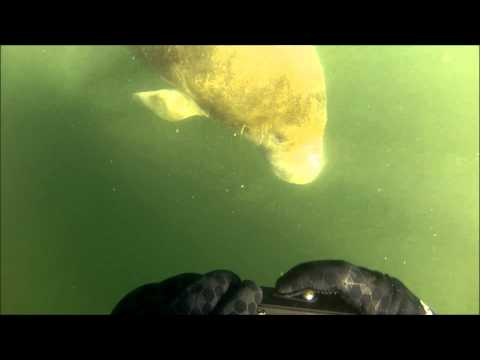 January 2014 - Crystal River, FL - Manatee Snorkel