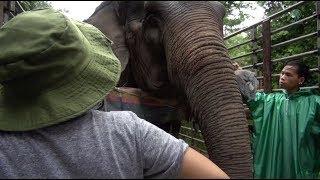 Rescued elephant Kanjana the ankle injury
