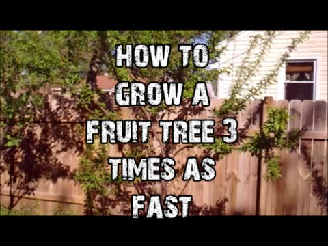 How to Grow a fruit tree 3 times as fast!!!