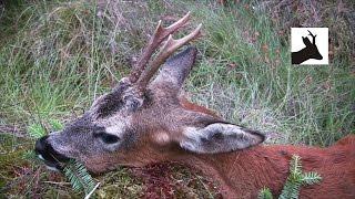 Fourth roebuck of the season 2011. Deer stalking / Hunting / Shooting / Scotland