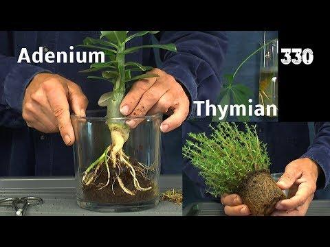 Wüstenrose, Chili, Thymian umpflanzen