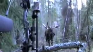 Охота на лося с луком. Moose hunting with a bow.