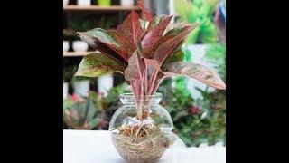 Cách trồng và nhân giống cây Vạn Lộc cực dễ để hút tài lộc vào nhà rất tốt trong phong thủy