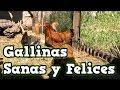 Alimentación Gallinas Ponedoras: Ensaladas frescas para huevos sanos