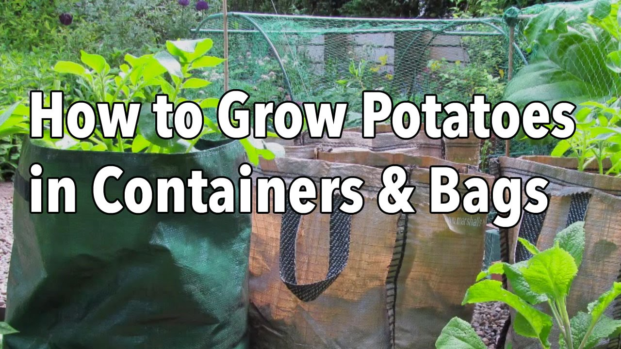 Potato Plants in Containers Growing Potatoes in Containers