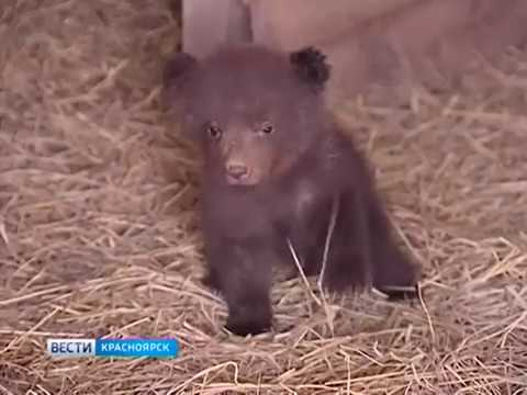 Медвежата остались без матери