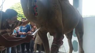 Billa g group camel qurbani 2016 gujranwala