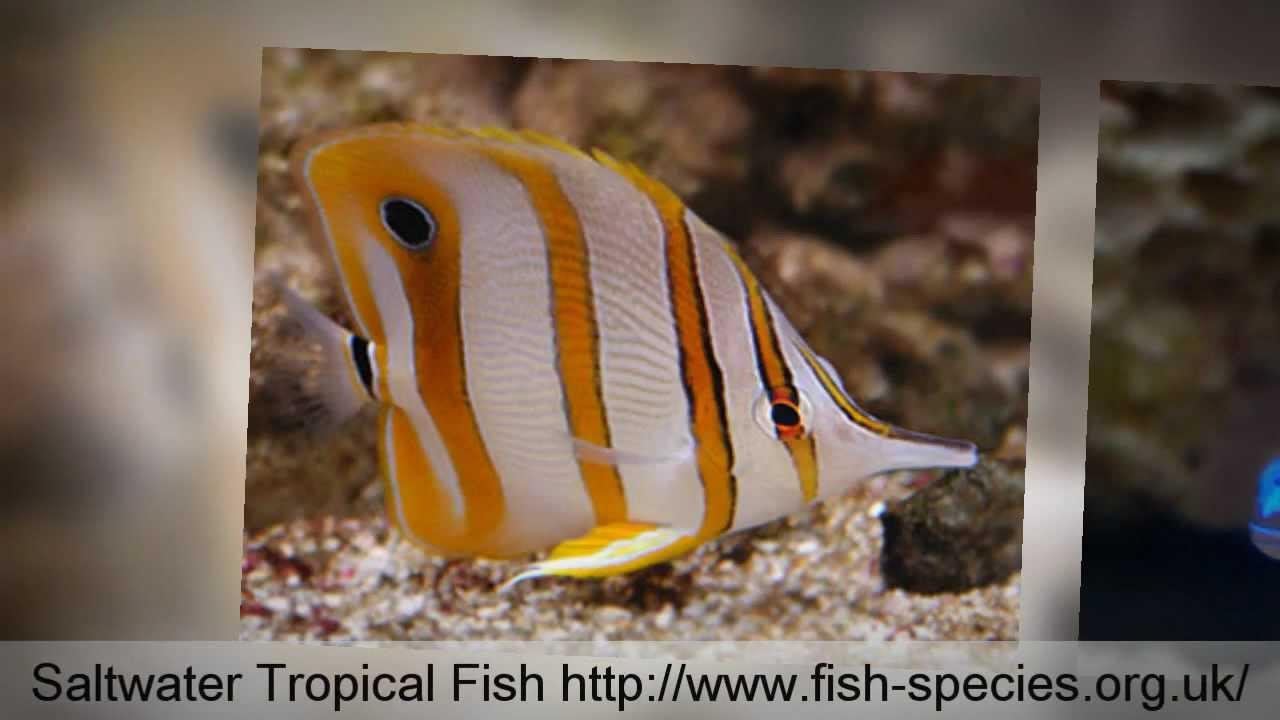 Saltwater tropical fish tropical fish species youtube for Tropical fish species