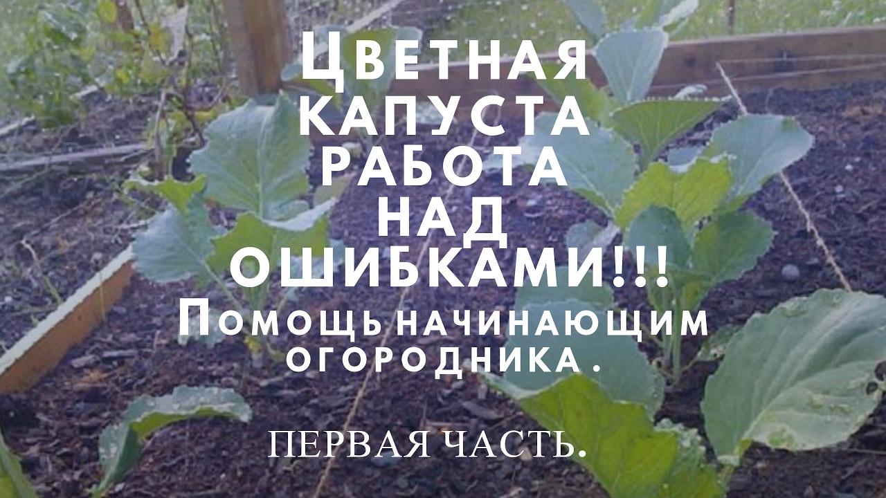 Ошибки при выращивании цветной капусты 54