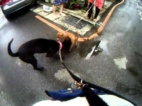 帶黑唐去散步,遇見李媽媽也在幫忙帶別人家的狗。