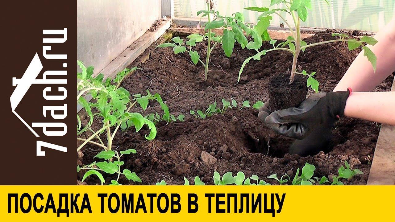 Как ухаживать за рассадой помидор после высадки в теплицу 37