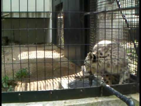 ユキヒョウ 水飲み場でのんびりユッコ(円山動物園)