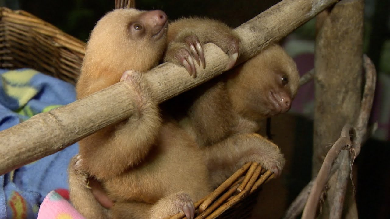 Baby sloths peeing in the nursery - Nature's Miracle Orphans: Series 2 Episode 2 Preview - BBC One